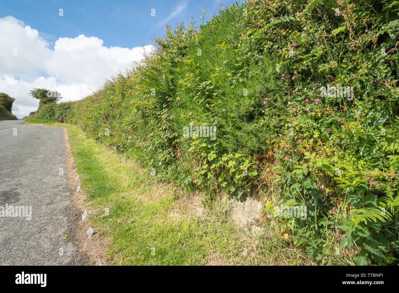 Fiori Del Mese Di Giugno pembrokeshire hedge siepe hedgebank (hedge banca), un