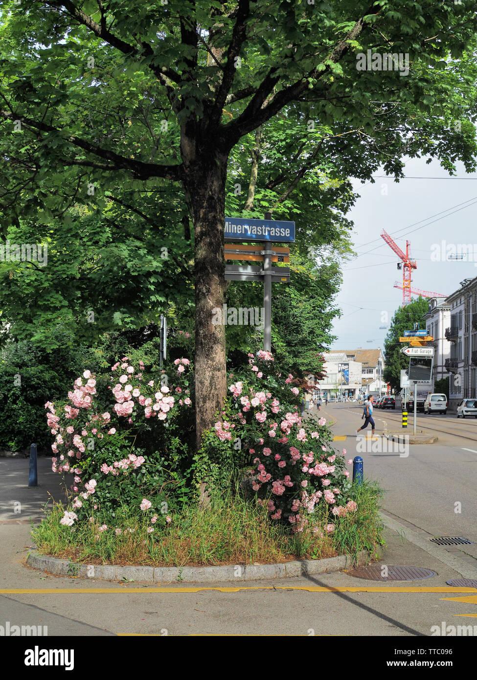Strauchrosen auf Baumscheibe in der Stadt Zürich Immagini Stock