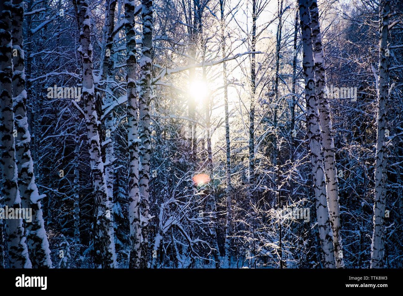 Coperte di neve alberi nudo sulla giornata di sole Foto Stock