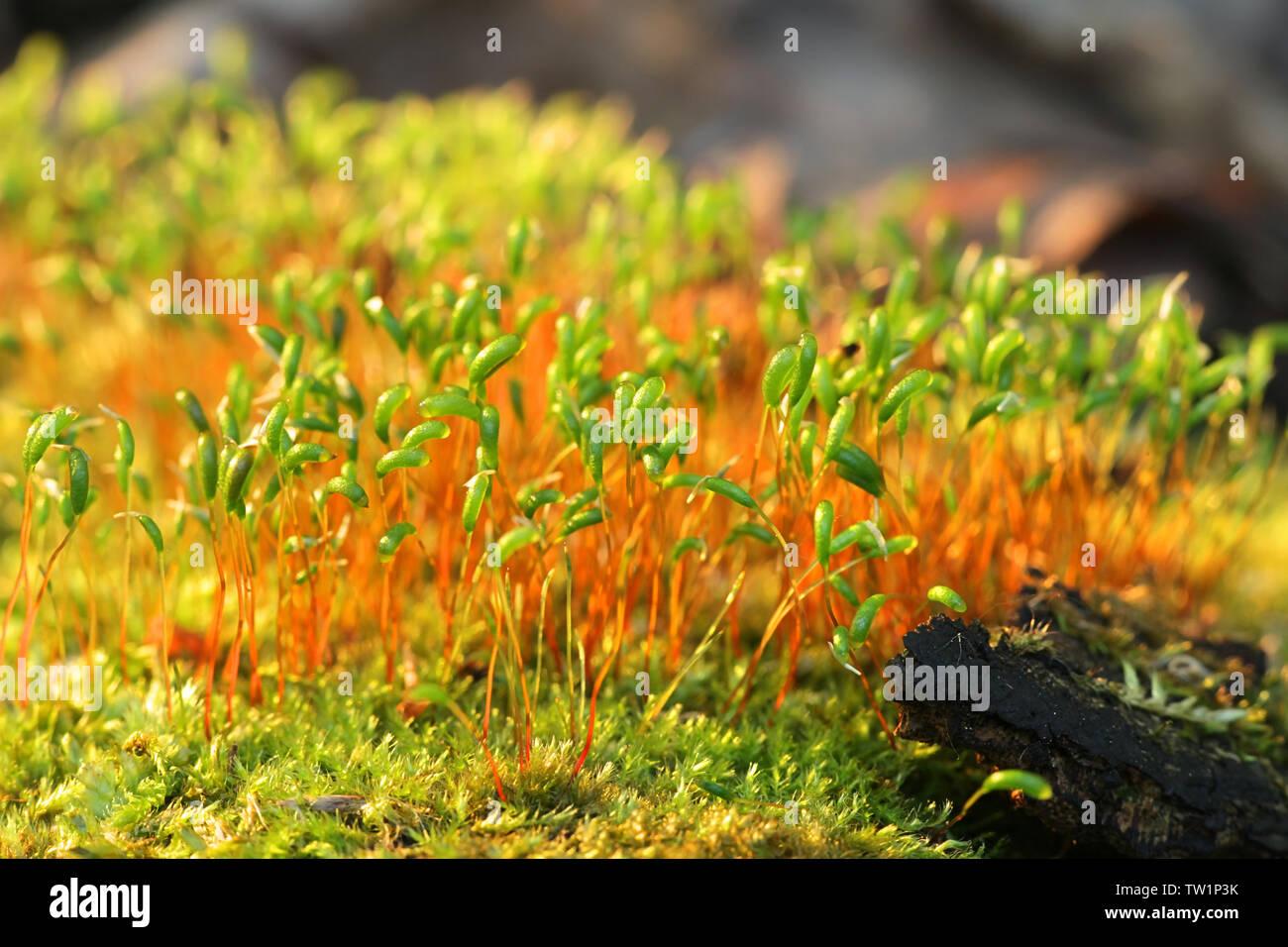 Le capsule di spore di un Brachythecium moss Immagini Stock