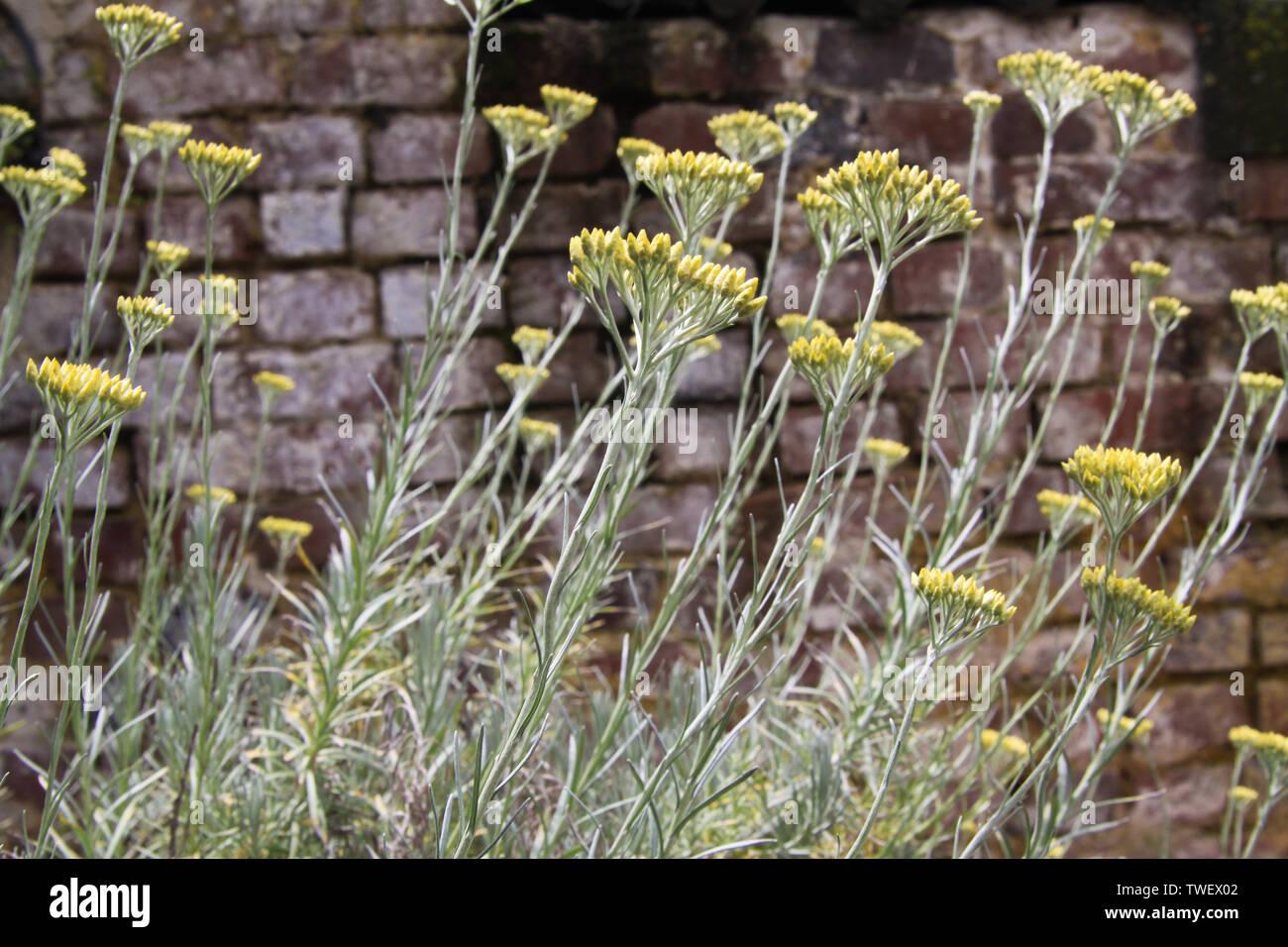 Fiore giallo curry impianto (Helichrysum italicum) in tedesco giardino con il vecchio weathered muro di mattoni in background Immagini Stock