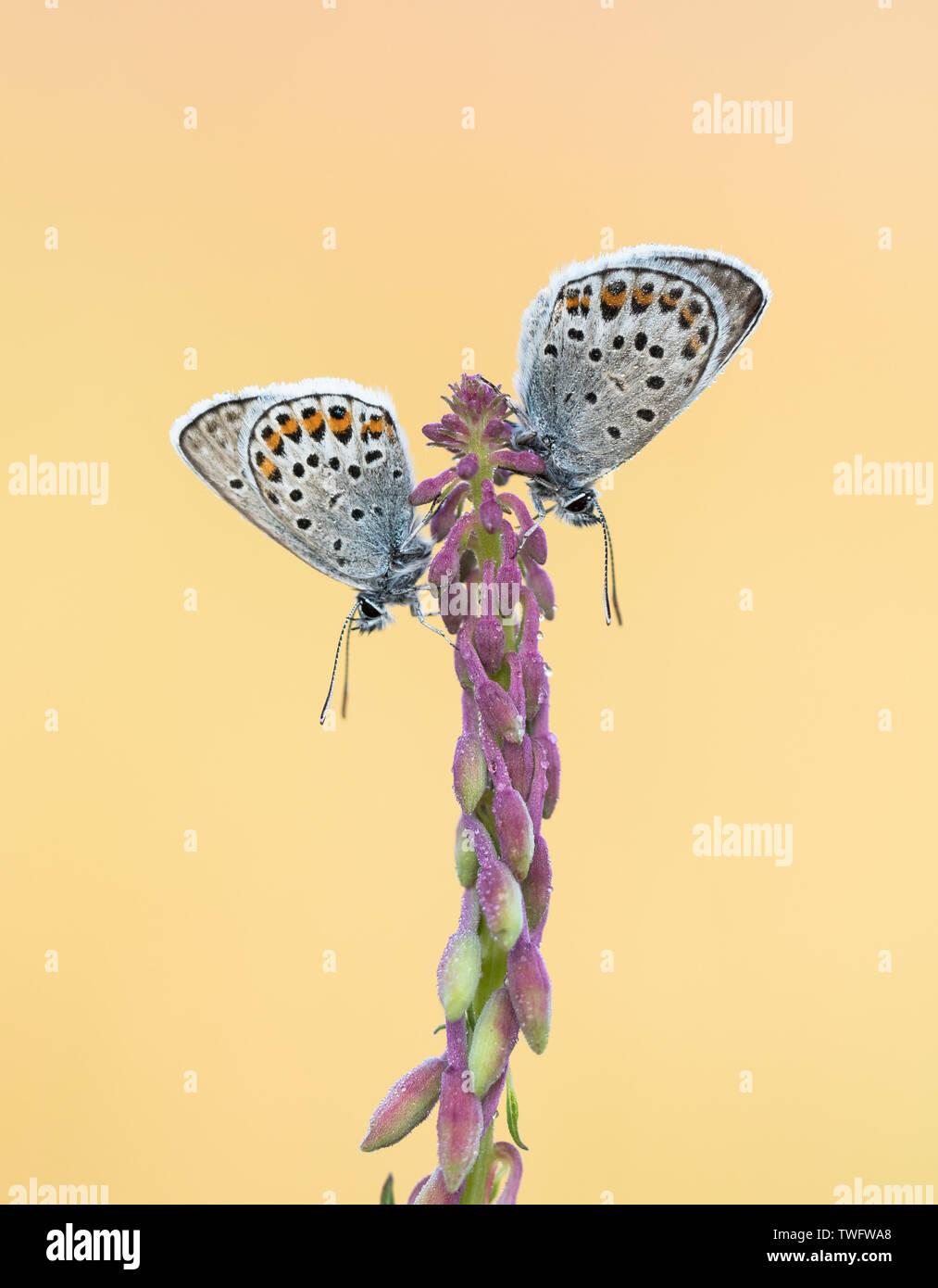Argento Studded Blue Butterfly (Plebejus argus) a Prees Heath, Shropshire, Regno Unito Immagini Stock