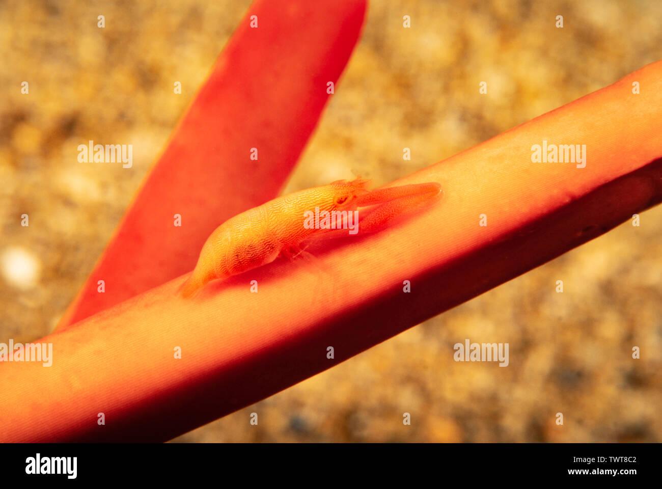 Il rosso matite di ardesia urchin gamberetti, Levicaris mammillata, è stato a lungo ritenuto essere endemica, ma ora è stata trovata in Giappone, Hawaii. Foto Stock