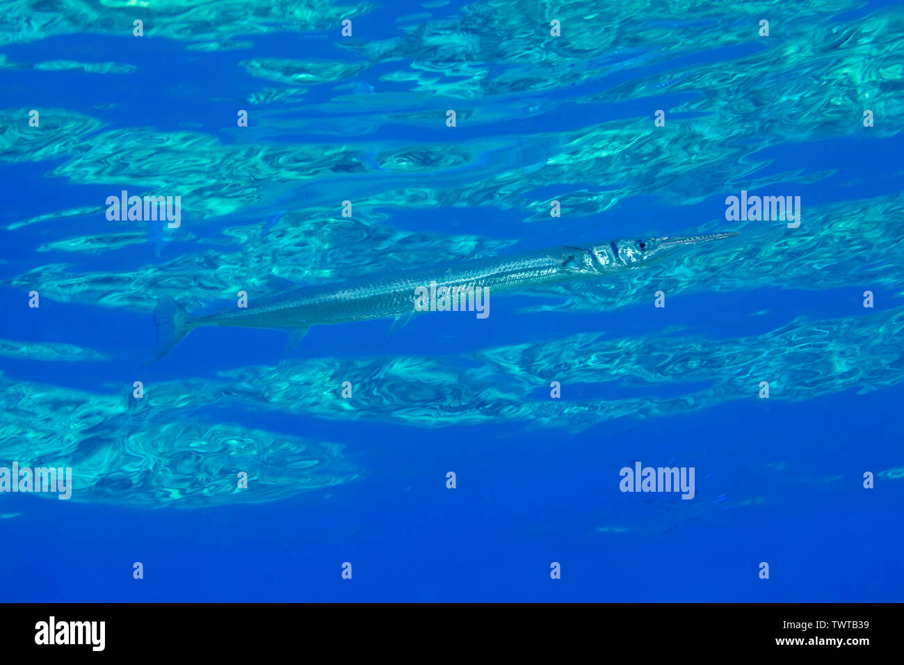 Il coccodrillo needlefish, Tylosurus crocodilus, nuota appena sotto la superficie e che è molto difficile da vedere in questo contesto, Hawaii. Immagini Stock