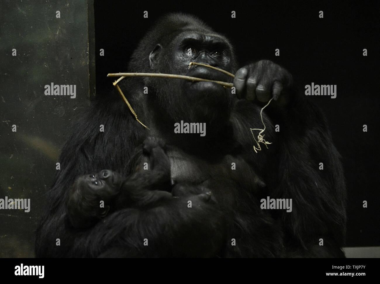Bana, un pericolo pianura occidentale gorilla, mantiene il suo neonato Patty presso il Lincoln Park Zoo il 13 novembre 2012 a Chicago. Patty è nato nel mese di ottobre, ma sorvegliato in modo così stretto da sua madre che ha preso un mese prima lo zoo di cura degli animali il personale per determinare con certezza il neonato era una femmina, annunciando i risultati martedì. UPI/Brian Kersey Immagini Stock