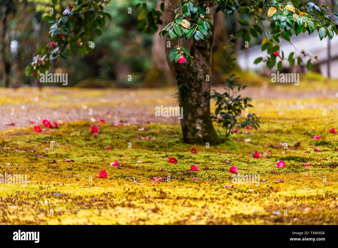 Camellia japonica giapponese fiori rosso caduto su albero in Giappone in primavera su moss erba sul tempio motivi Immagini Stock