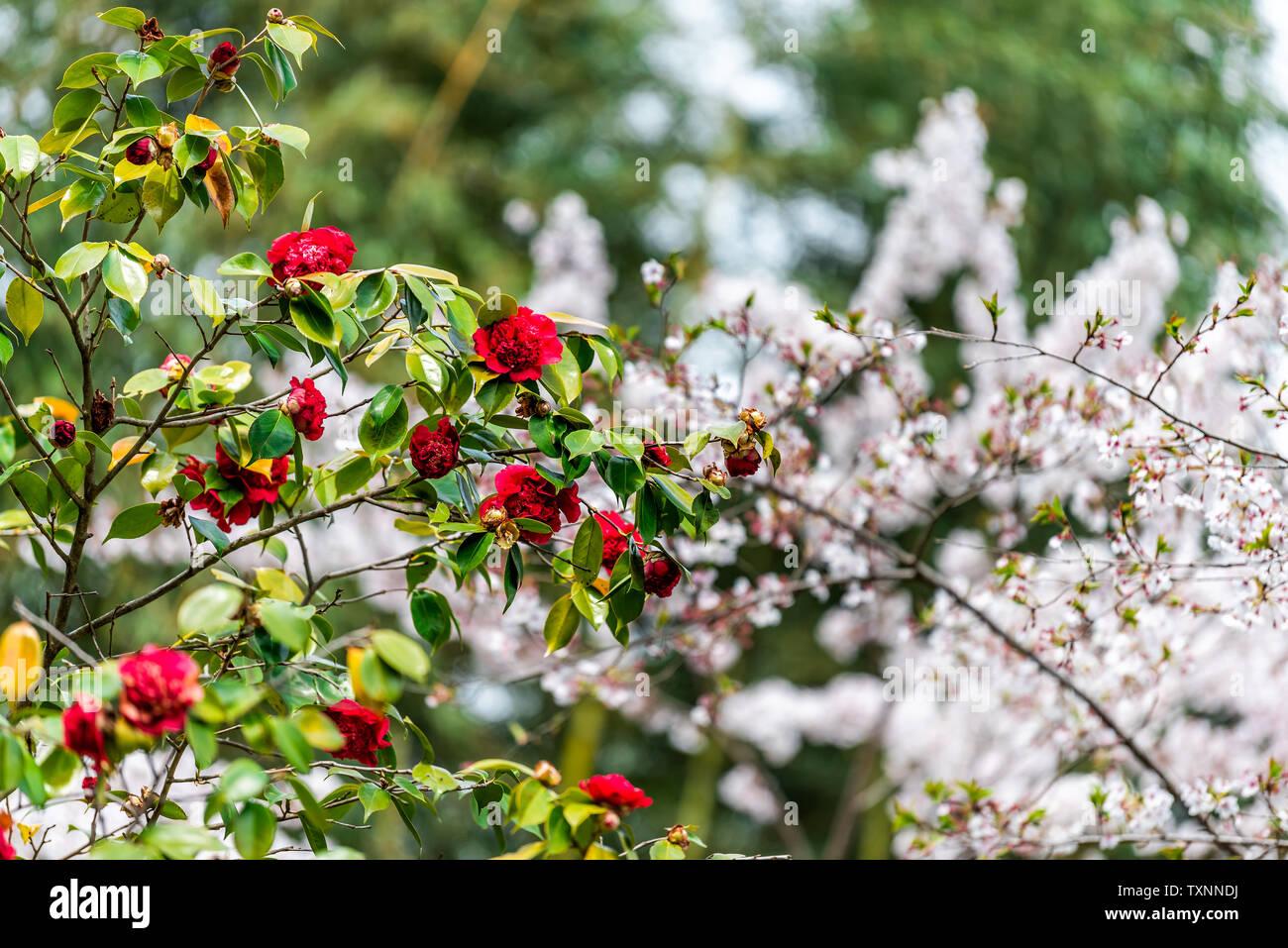 Camellia japonica giapponese tsubaki fiori rossi su albero a Kyoto, in Giappone in primavera a Arashiyama con sakura Cherry Blossom Immagini Stock