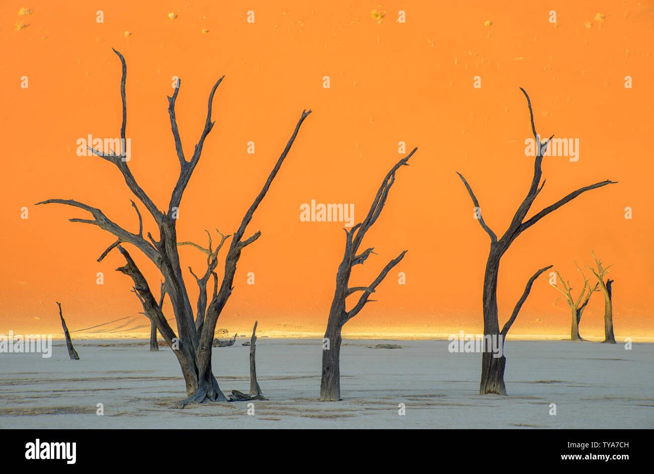 La quasi surreale e onirica vista di questi alberi preistorici. Visivamente arancione mozzafiato e le sfumature di blu della struttura scheletrica foresta. Dead Vlei Immagini Stock