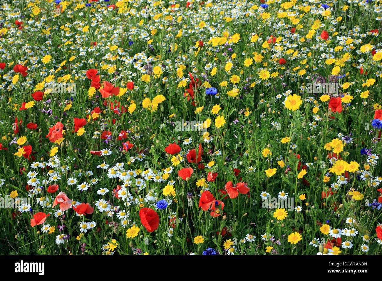 Wild Flower Garden, fiori selvatici, papavero, Daisy, fiordaliso Foto Stock