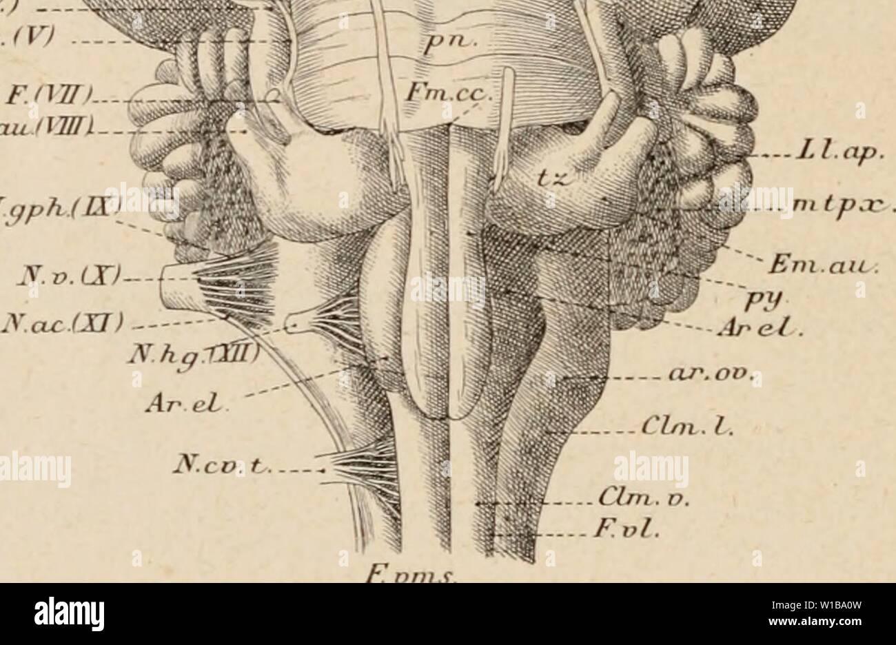 Immagine di archivio da pagina 349 di Dictionnaire de physiologie (1898). Dictionnaire de physiologie . dictionnairedeph03ricco anno: 1898 lm.cùv (RNG. G. ._ R F.rh Hjr.mj-. .Pi.p Sop (Ml -- Ptd ' . V FS 1 ho Fprh. U limp / .. Fp ppr . / S iv iB'l FiG. 30. Base de rencéphale et aspetto ventrale di du cerveau (d'après Wilder et Gage). L.ol, lobi olfactil's. - N.V.ol (MI), Origine du norf olfactif. -F.così, scissure sus-orbitaire (se. frontale supé- rieure). - F.cor scissure coronaire. -F.dg, scissure diagonale. - F.un, scissure ectosj'lvienne antérieure. - F.rh, scissure rhinale. -Prpf, espace perforé anté Immagini Stock
