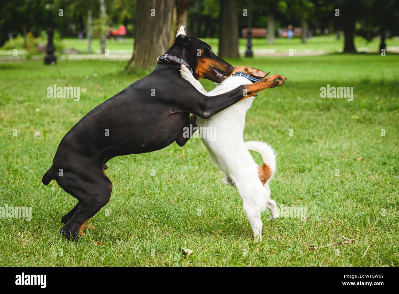Dobermann cucciolo getting socializzazione pratica in luogo pubblico giocando con il cane adulto Immagini Stock