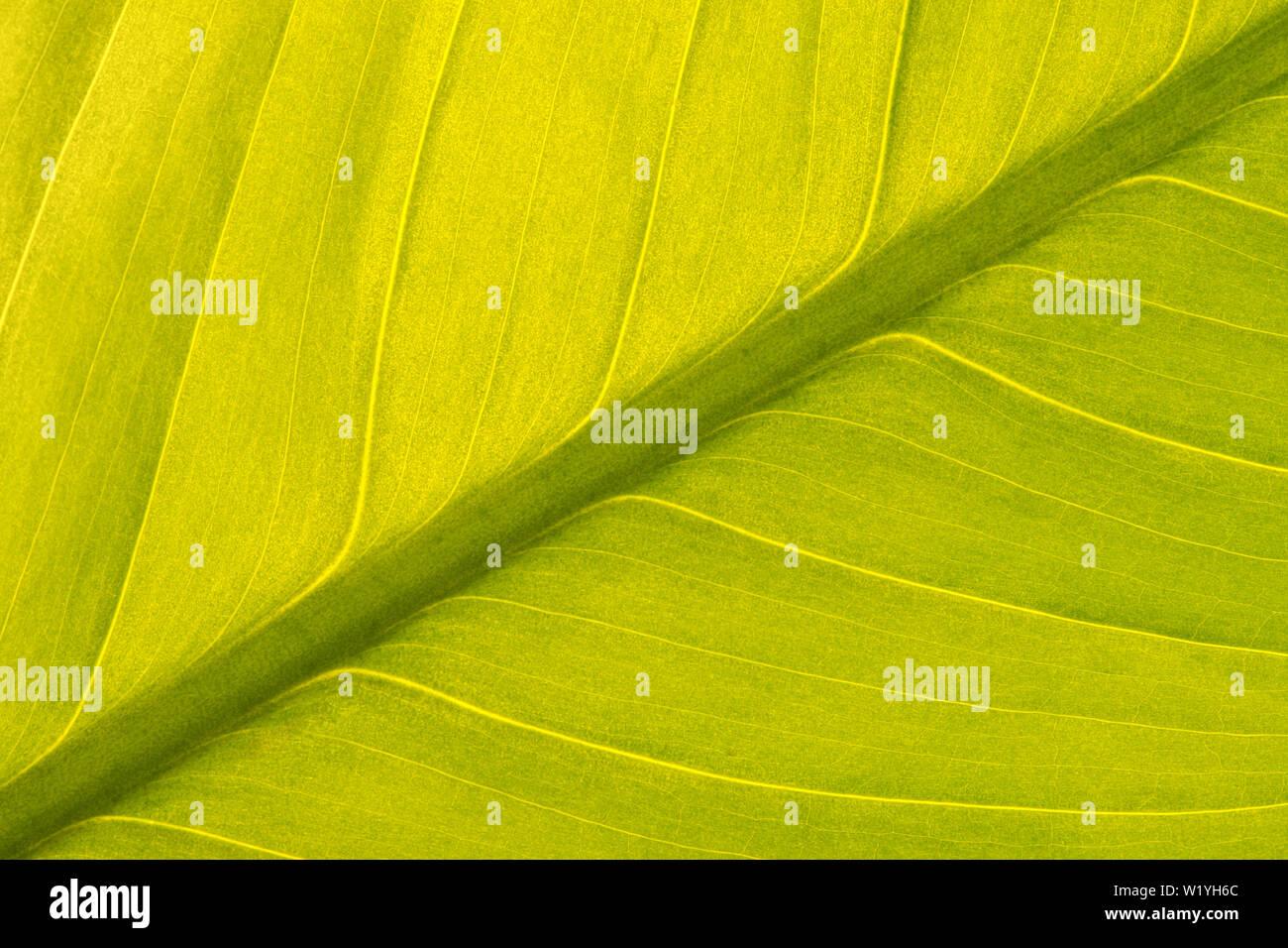 Simmetriche vista diagonale di una pace verde giglio Foglia (Spathiphyllum) con una retroilluminazione per dare una luce soffusa e texture interessanti. Foto Stock
