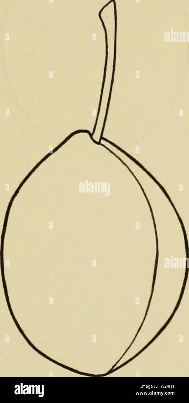 Immagine di archivio da pagina 238 di dell'enciclopedia di hardy frutti (1922). Dell'enciclopedia di hardy frutti cyclopediaofhard00hedr Anno: 1922 197. Imperial Gage. (XD e mercato. In posizioni selezionate. Imperial Gage è un prezioso frutto. Il Princes nel loro nido a Flushing, Long Island, circa l'anno 1790, piantato il box di venticinque litri di verde Gage prugna, e da uno di questi prodotti Imperial Gage. Albero grande, vigorosa, verticale-diffusione, aperta superiormente, Hardy, molto produttiva. Foglie obovate, 2 pollici di larghezza e 3 cm di lunghezza, spessore; cuspide ; acuta di base ; margine crenate, con piccole d Immagini Stock