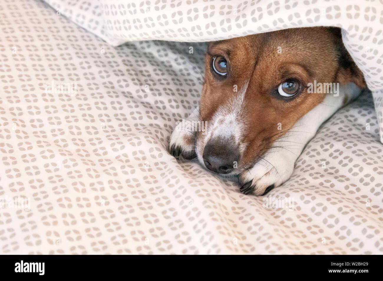 Miscelati terrier cane sotto le lenzuola del letto Immagini Stock