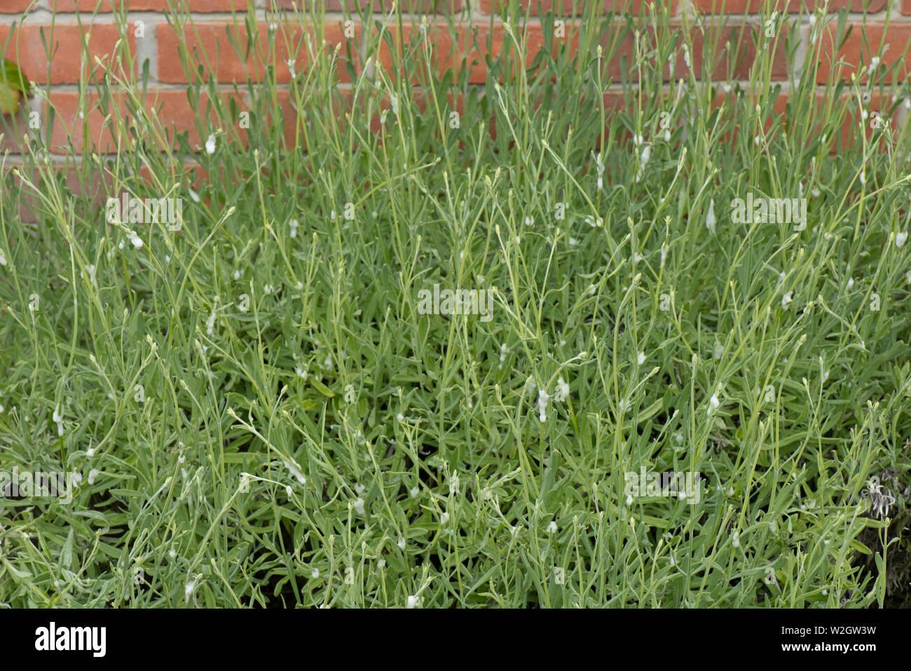 Il cuculo allo spiedo, spumosi bolle, trasuda di comune froghopper, Philaenus spumarius, ninfa su piante di lavanda Immagini Stock