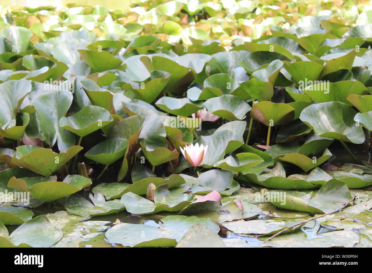Water Lilies sotto la luce diretta del sole Foto Stock
