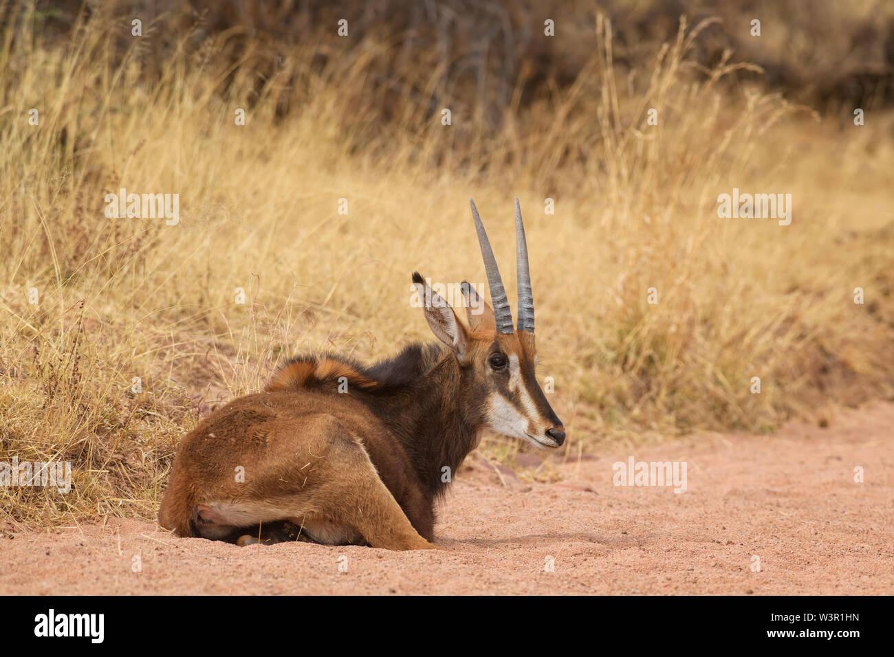 Sable Antelope - Hippotragus niger, bellissimo grande antilope da savane africane e cespugli, Namibia. Foto Stock