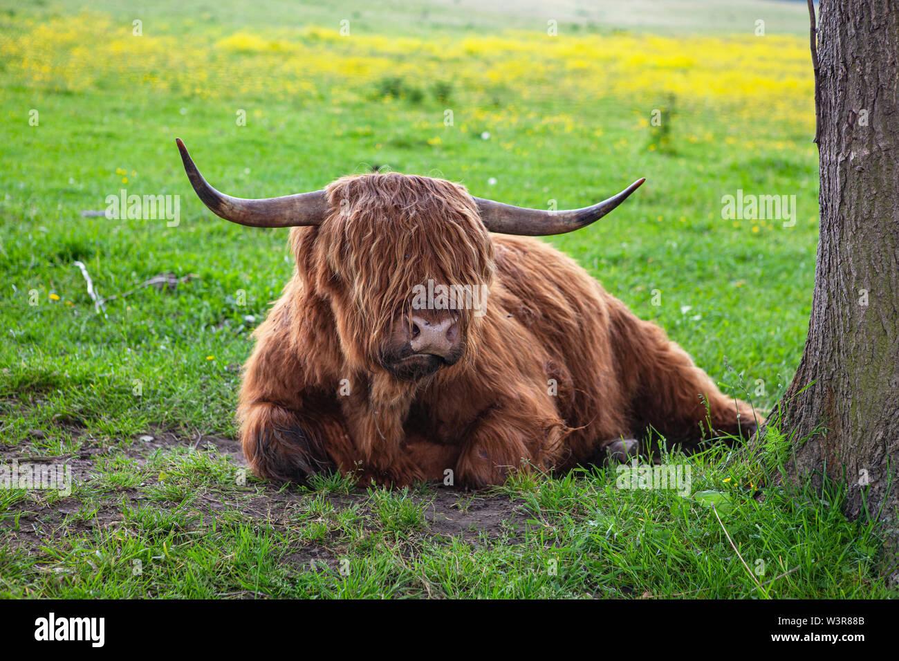 Ein Schottisches Hochlandrind auf einer Wiese. Foto Stock
