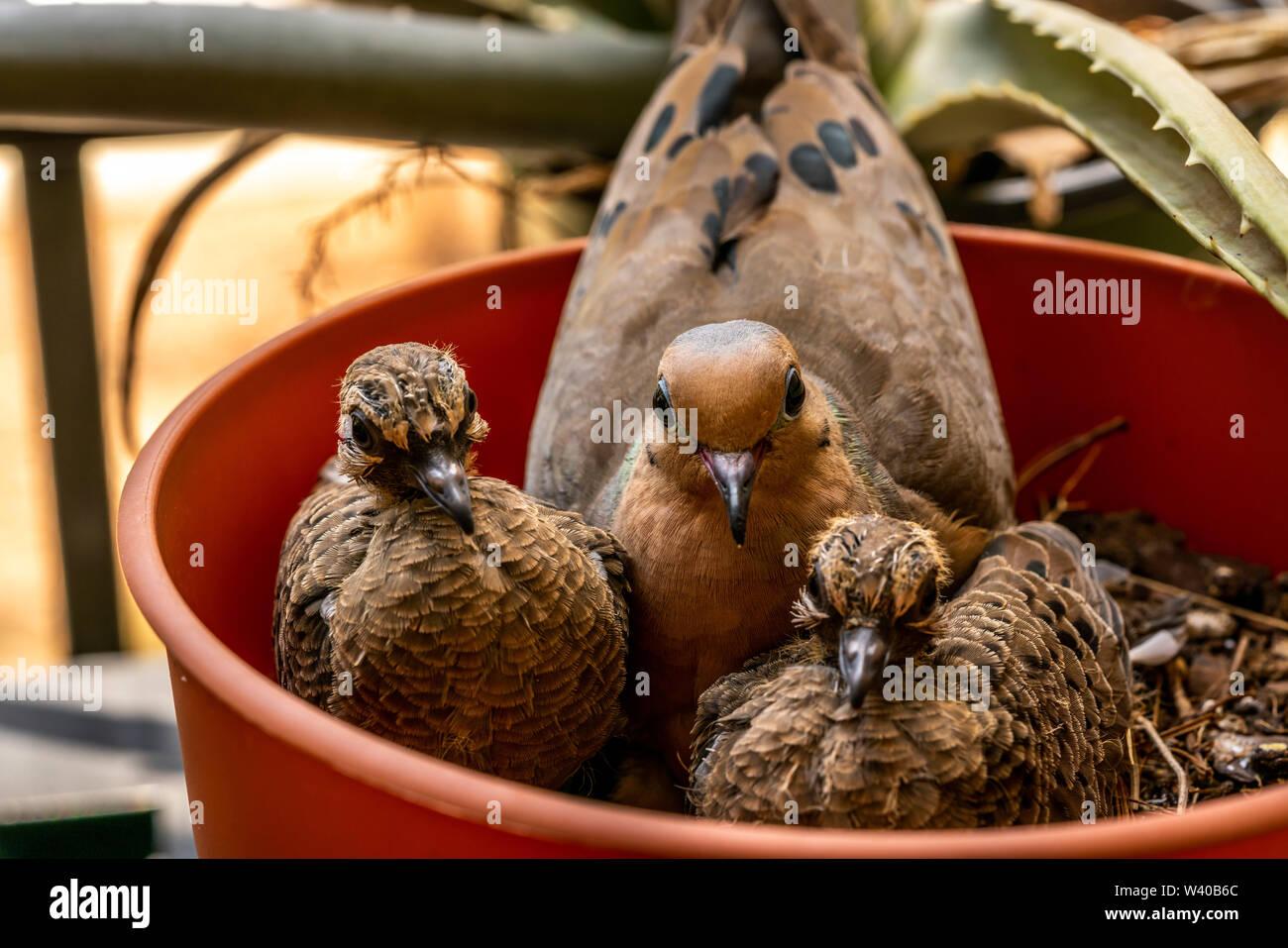Nido Di Tortore Sul Balcone nido di colombe immagini & nido di colombe fotos stock - alamy