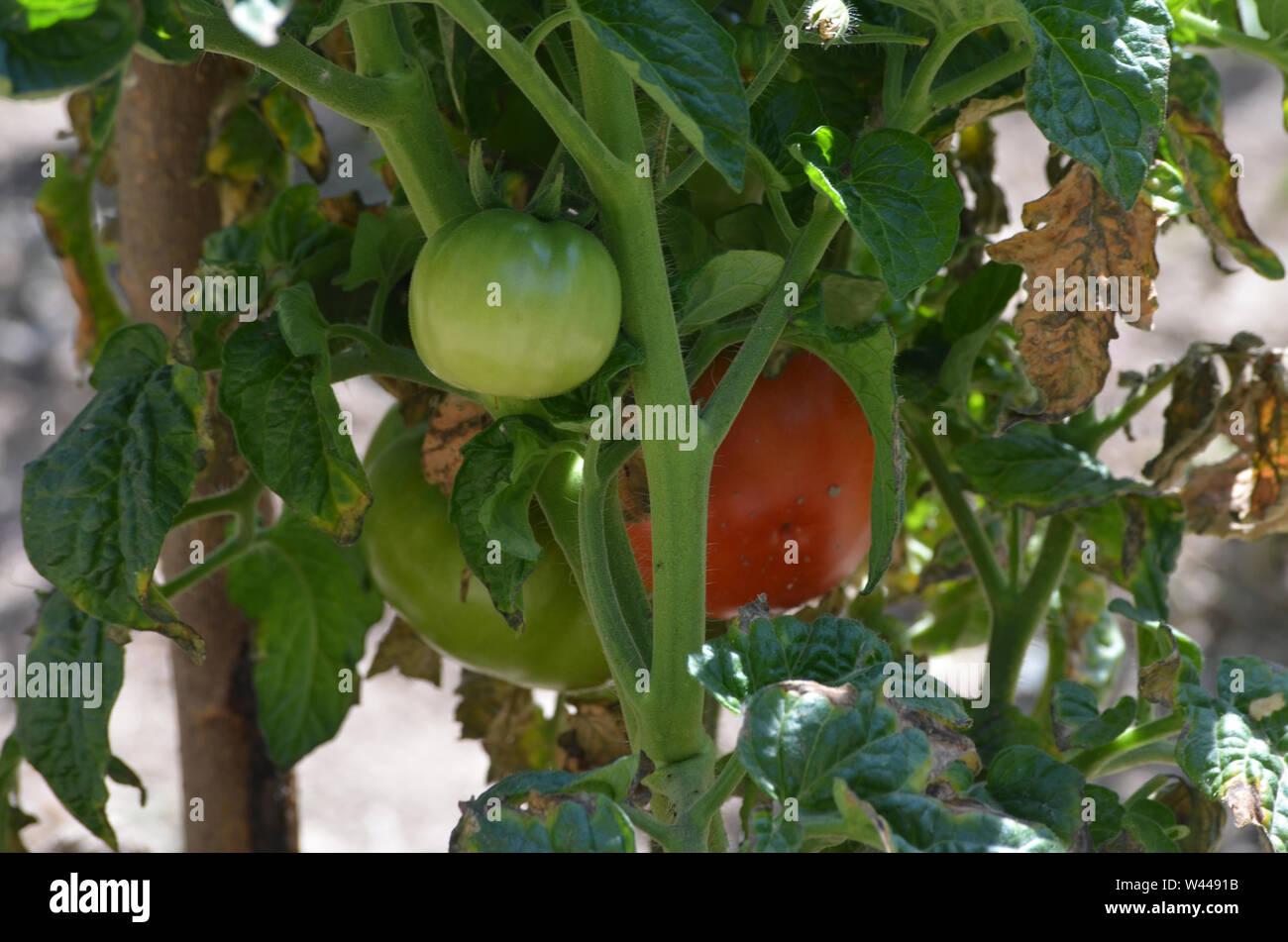 Un frutteto di pomodoro in Uhum village, Nuratau montagne Foto Stock