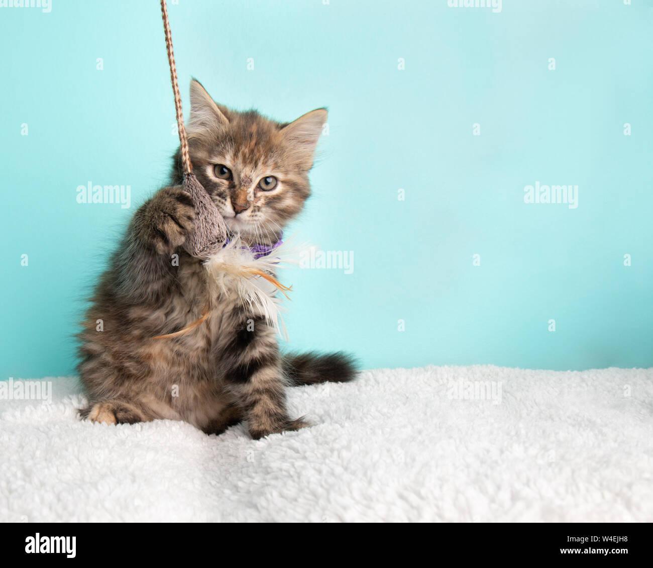 Carino Fluffy giovani Tabby Kitten Rescue Cat indossando viola e bianco punteggiato Poka Bow Tie Pawing seduto e giocare con la stringa e Mouse giocattolo sul blu Ba Foto Stock