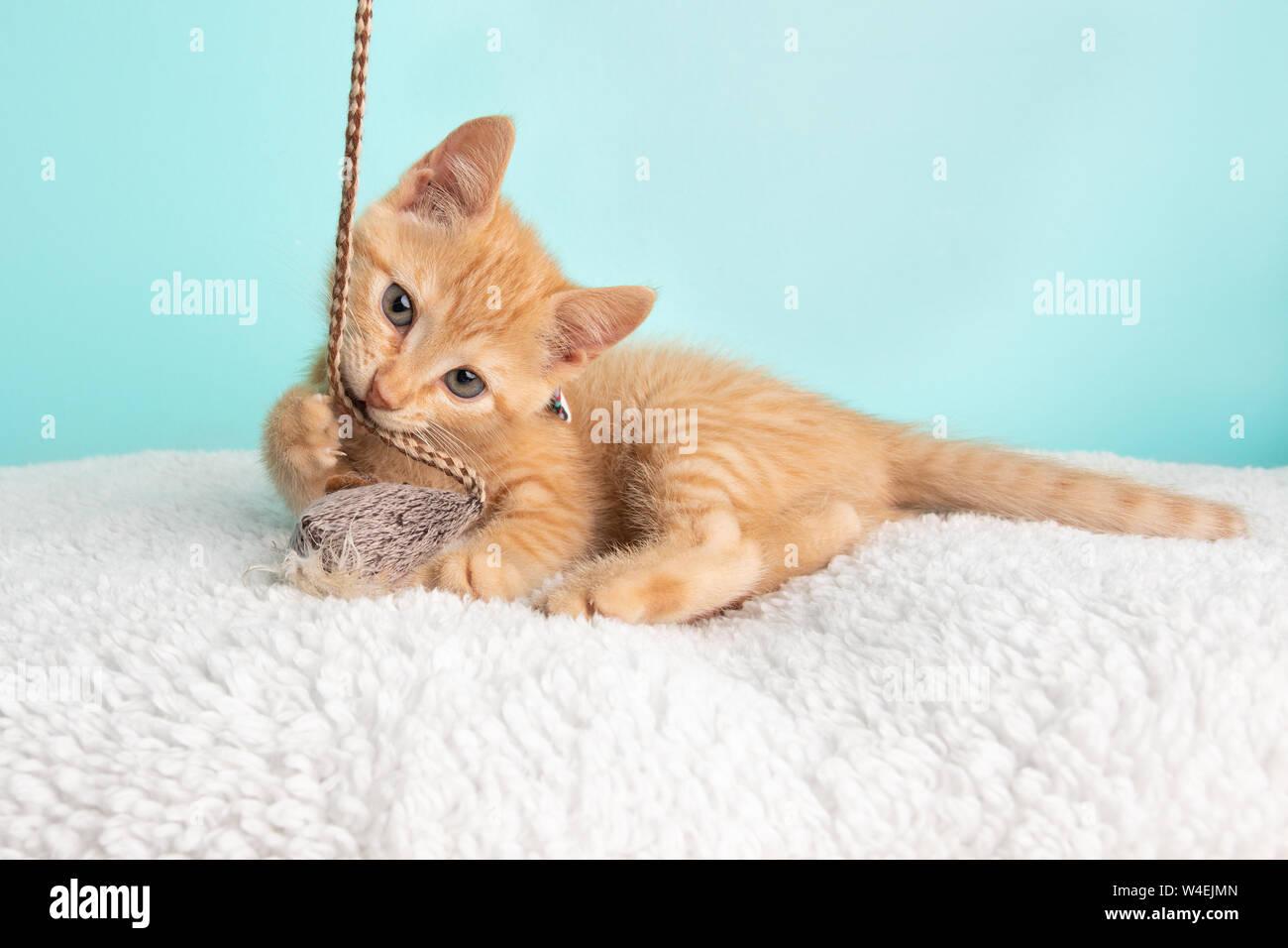 Carino giovane Orange Tabby Gattino Rescue indossando fiore bianco Bow Tie sdraiato Pawing e giocare con il giocattolo Mouse e la stringa su sfondo blu Foto Stock