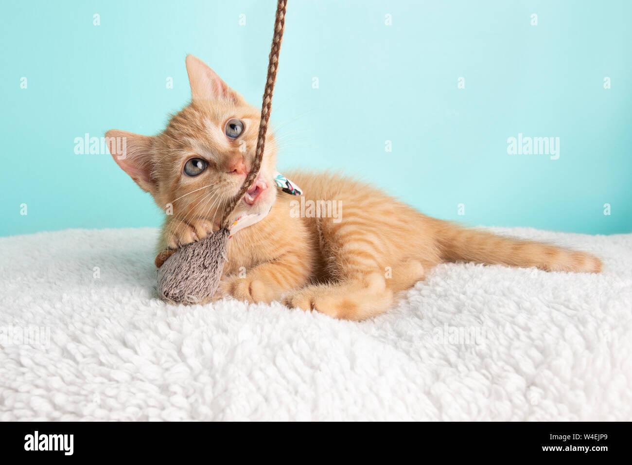 Carino giovane Orange Tabby Gattino Rescue indossando fiore bianco Bow Tie sdraiato cercando di giocare e mordere il mouse e la stringa giocattolo sul Backgroun blu Foto Stock