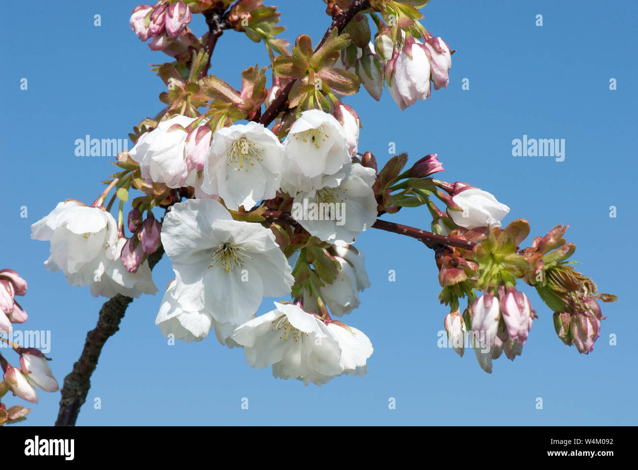 Fiori Bianchi Marzo.Fiori Bianchi Apertura Contro Un Cielo Blu Su Una Fioritura Cherry