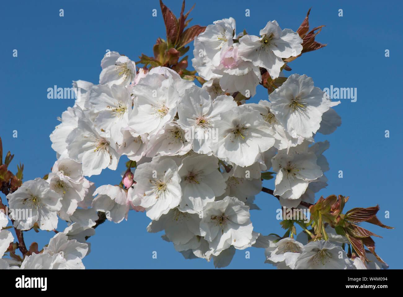 Ciliegio Fiori Bianchi O Rosa.Marcia Del Prunus Immagini Marcia Del Prunus Fotos Stock Alamy