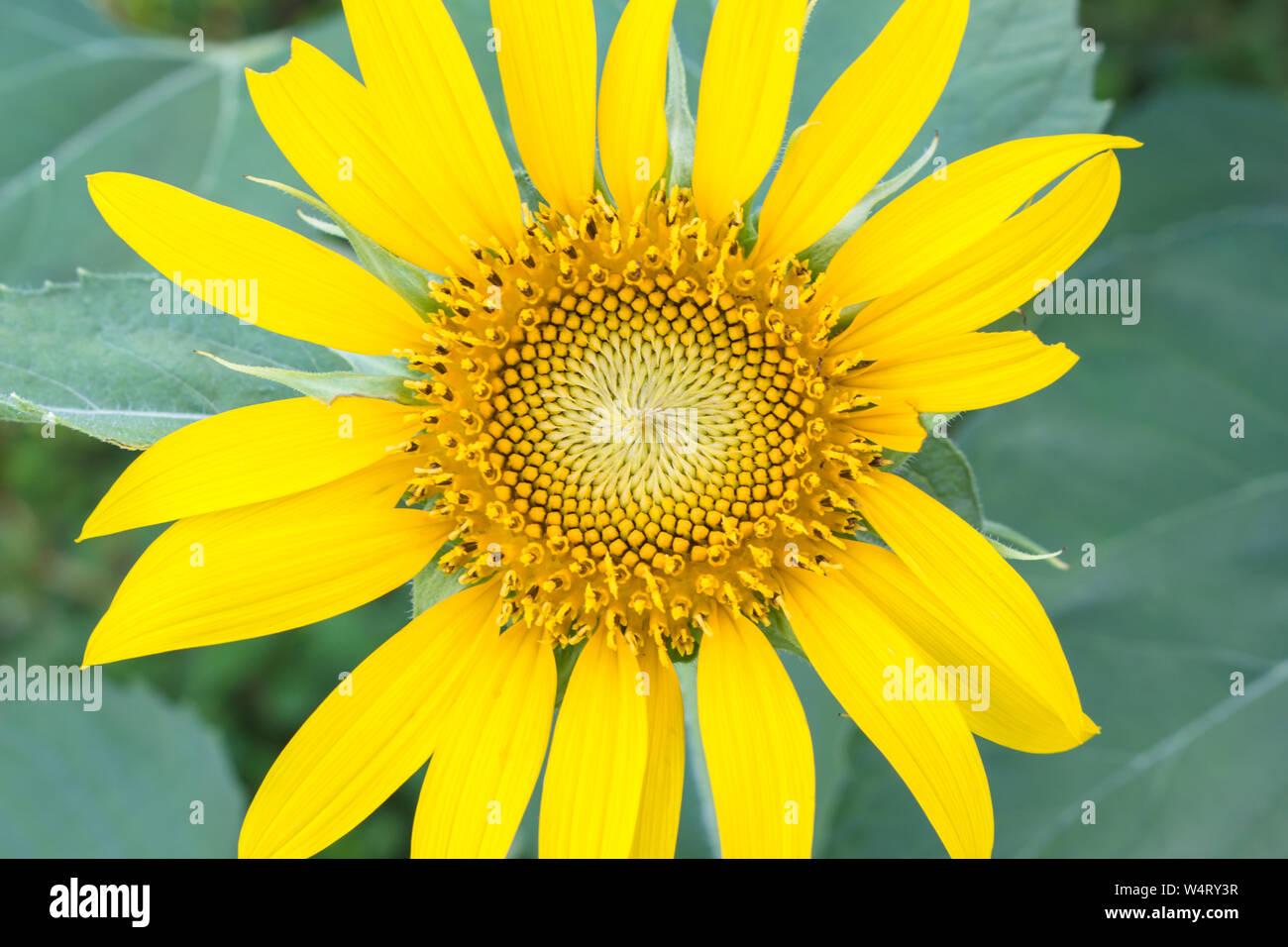 Bel colore giallo dei girasoli fioritura nelle ore diurne. Foto Stock