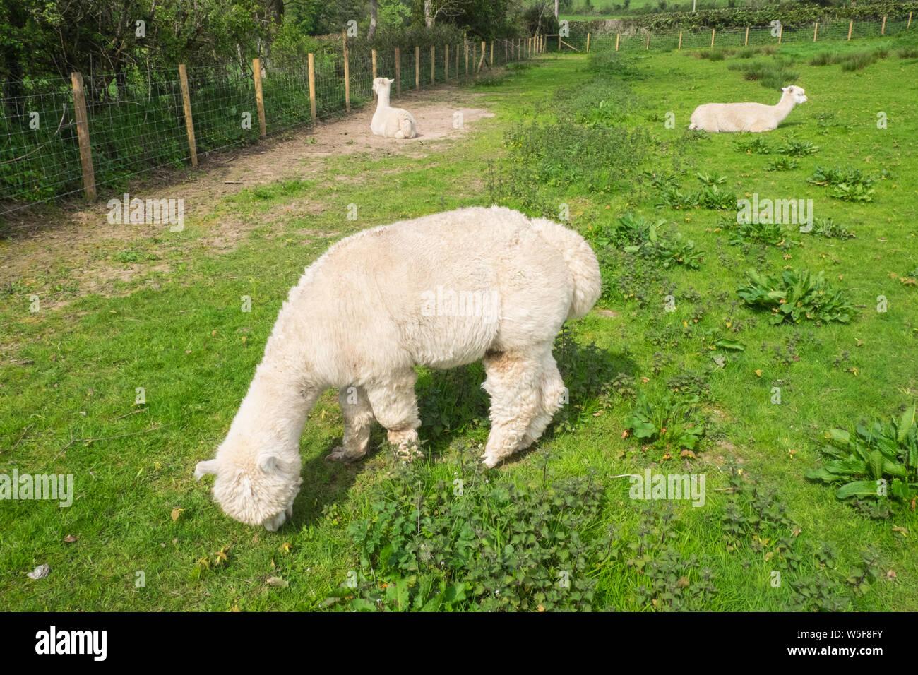 Shopping Alpaca Immagini & Shopping Alpaca Fotos Stock Alamy
