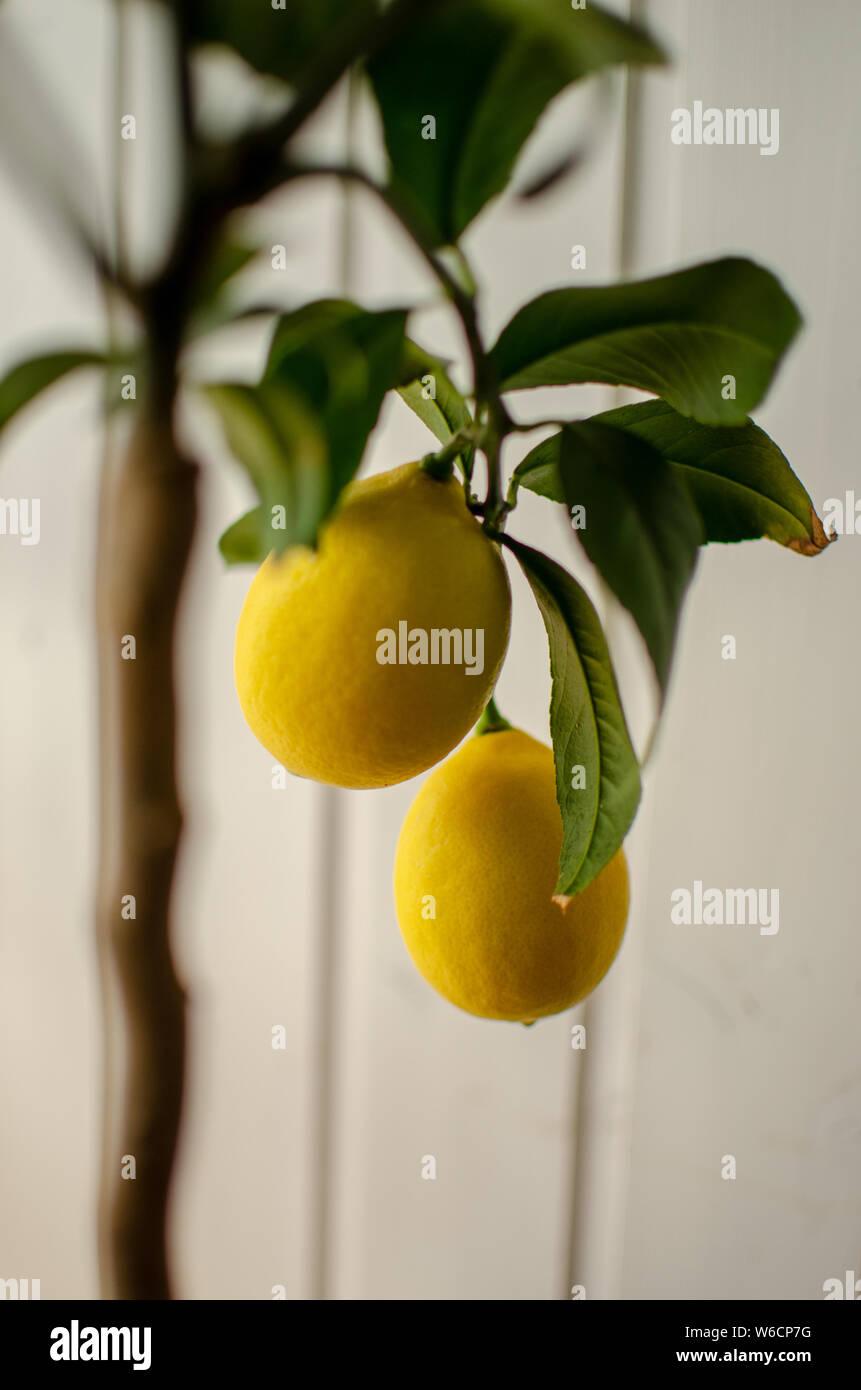 Zitronenbaum Foto Stock