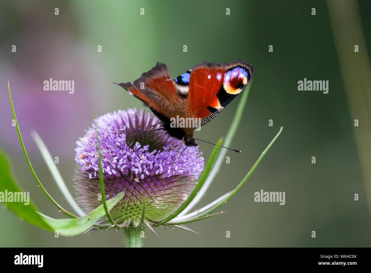 Farfalla pavone (Algais io) Foto Stock