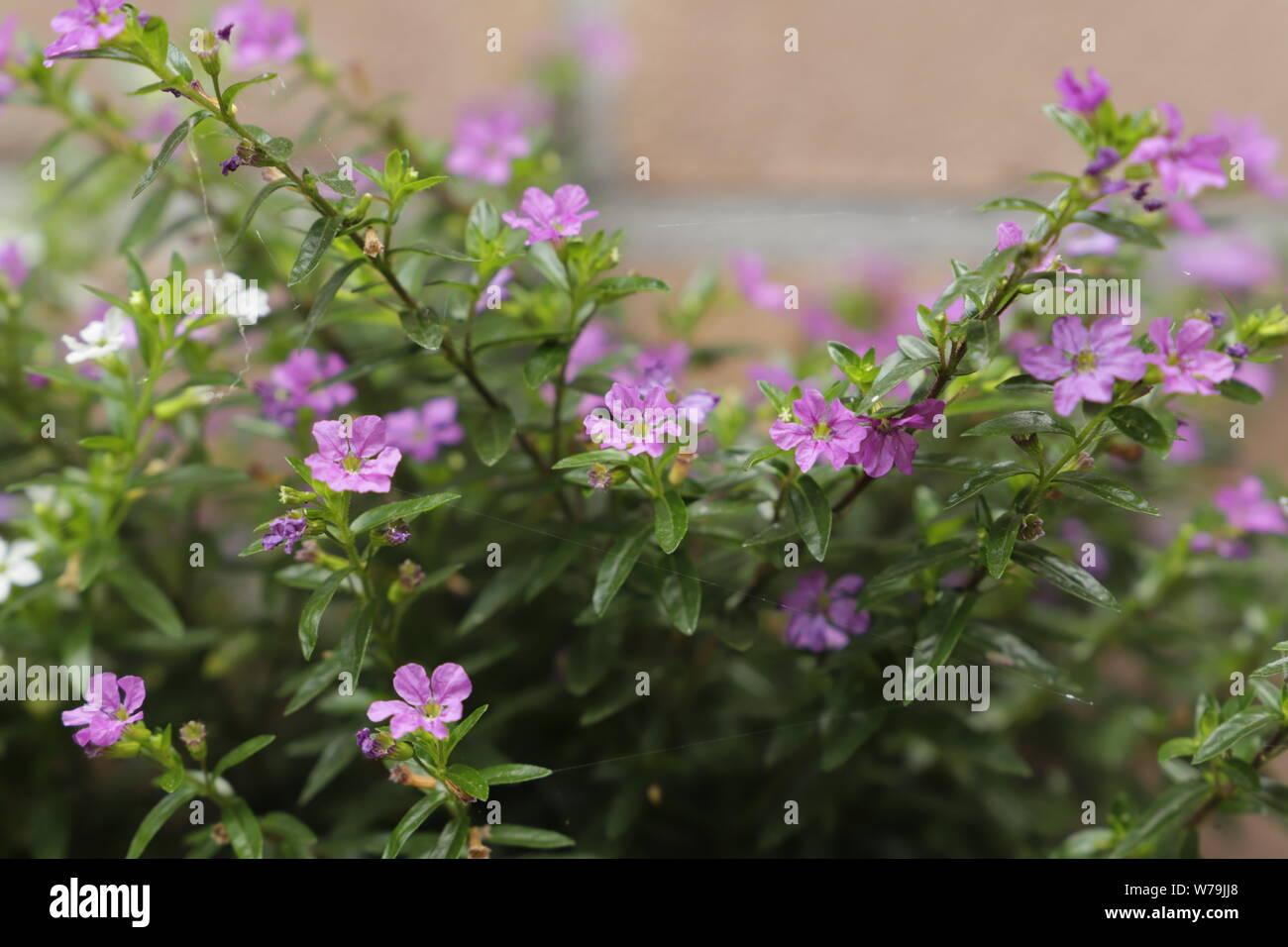 Ha Fiori Bianchi E Rosa.Hyssopifolia Immagini Hyssopifolia Fotos Stock Alamy
