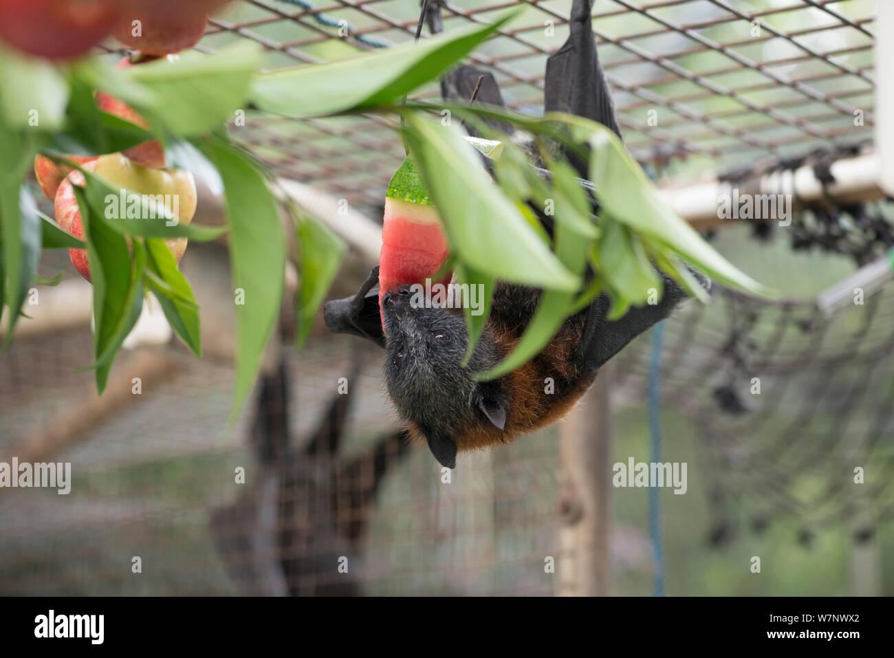 Testa Grigia flying fox (Pteropus poliocephalus) in voliera alimentazione su frutta, Tolga Bat Hospital, North Queensland, Australia, Novembre 2012 Foto Stock