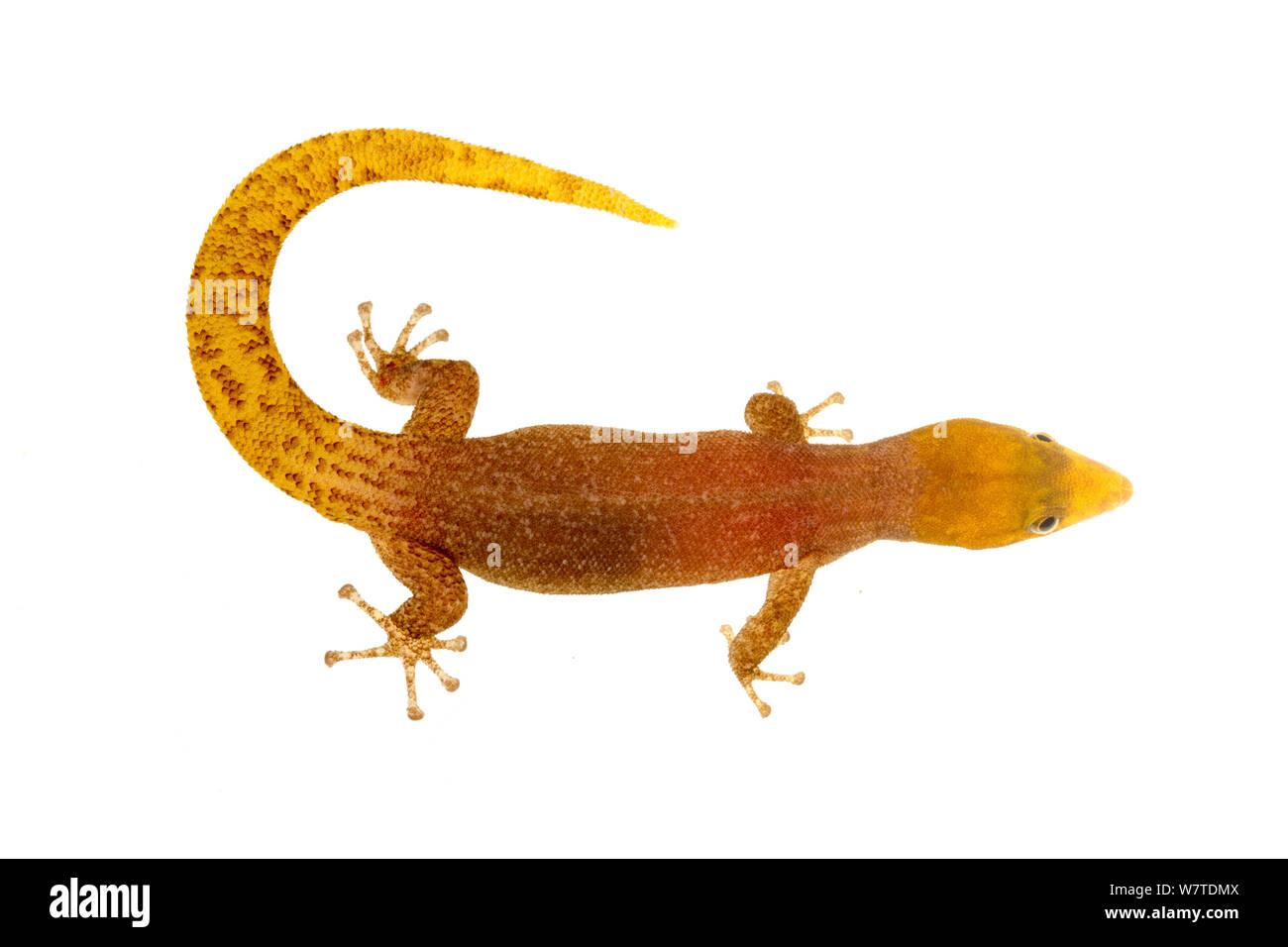 Sphaerodactylus homolepis Isla Colon, Panama. Progetto Meetyourneighbors.net Foto Stock