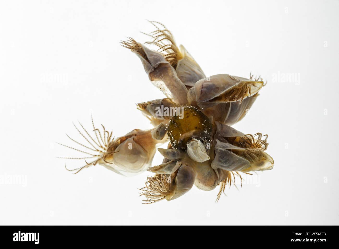 Blue goose barnacle / boa barnacle (Dosima fascicularis) contro uno sfondo bianco, la baia della Somme, Francia, Maggio. Foto Stock