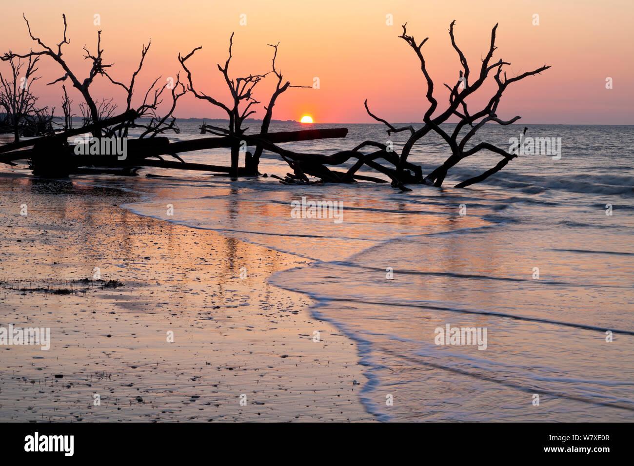 Gli alberi morti di sunrise al Cimitero in Spiaggia la Botany Bay Plantation Wildlife Management Area su Edisto Island, South Carolina, Stati Uniti d'America. Modifica delle maree hanno trasformato quello che una volta era la foresta in una spiaggia. Foto Stock