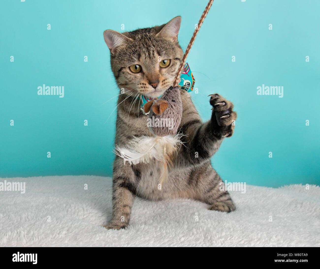 Carino giovane Tabby Cat indossando Blu Arancione Bow Tie ritratto in Costume seduta cercando la riproduzione di Mouse azione giocattolo blu e Sfondo bianco Foto Stock