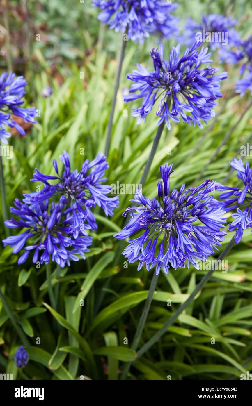 Agapanthus Foglie Gialle piante di violetta blu violetta immagini & piante di