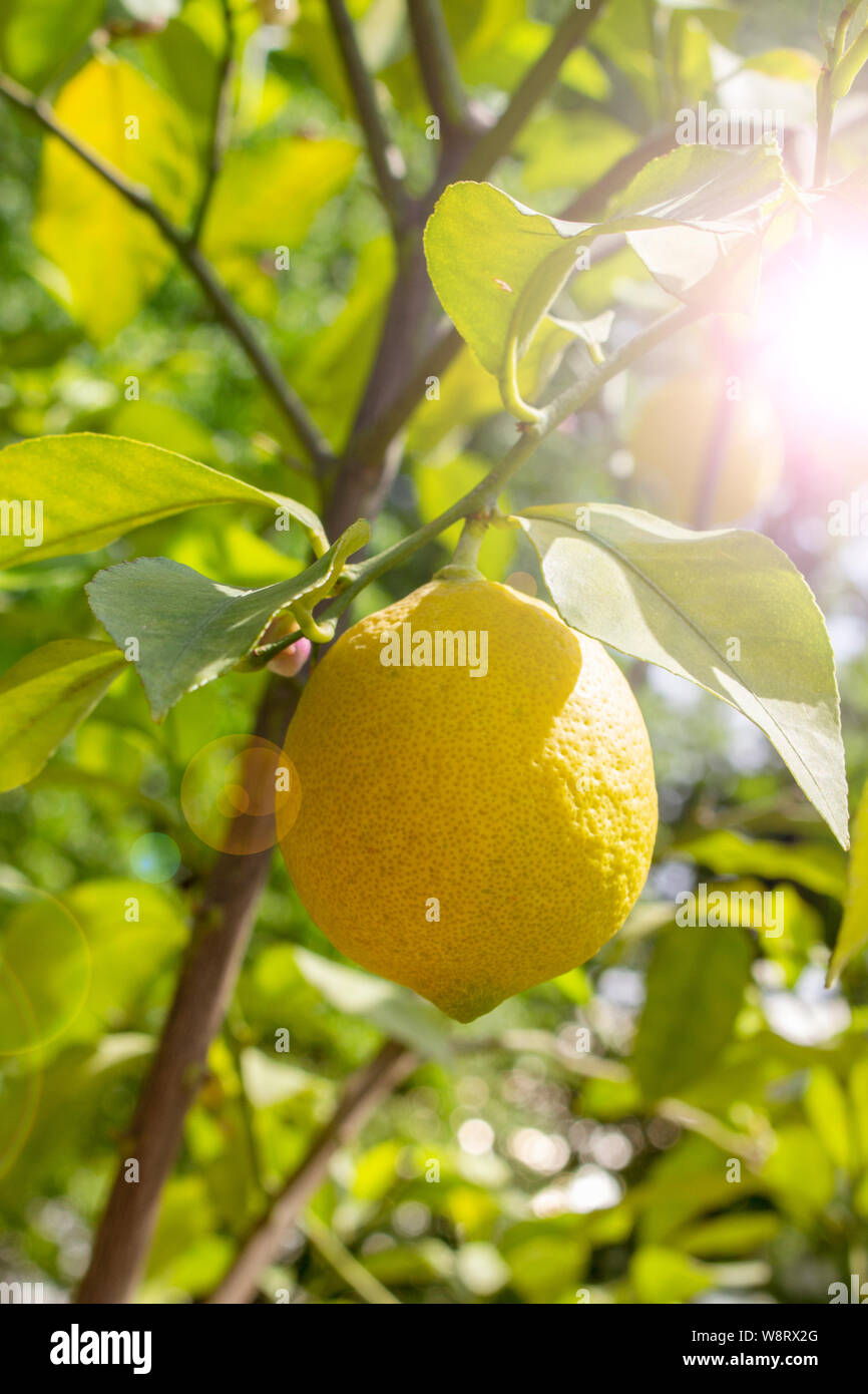 Limone maturi frutti pendenti su un ramo, sun flare. Frutto giallo limone Citrus limetta fresco e naturale con foglie. Lemon Tree frutti Foto Stock