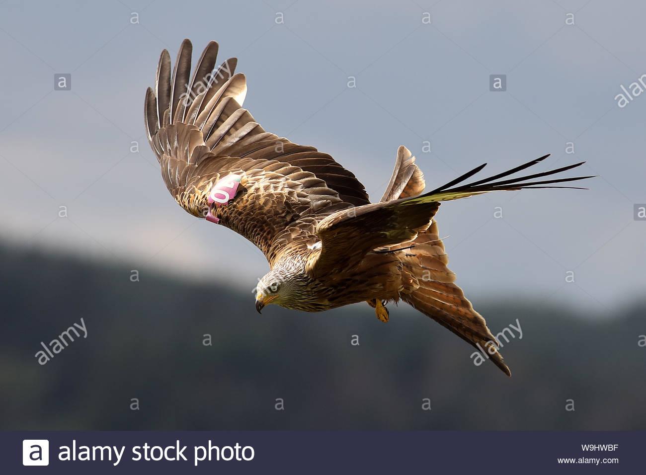 Nibbio reale in volo Foto Stock