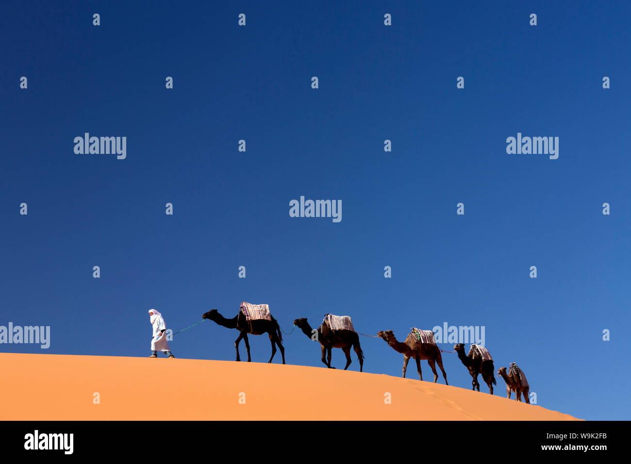 Berber l uomo alla guida di un treno di cammelli oltre le dune di sabbia arancione dell'Erg Chebbi mare di sabbia, Sahara Deserto vicino a Merzouga, Marocco, Africa Settentrionale, Africa Foto Stock
