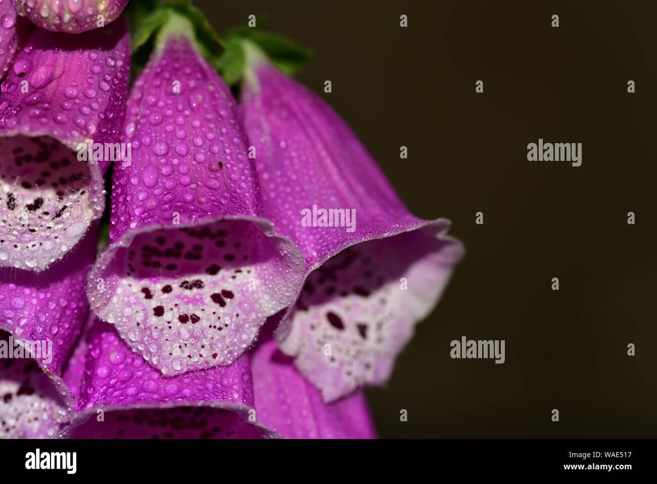 Close-up di una rigogliosa fioritura di foxglove con calice rosa in primavera e gocce di rugiada Foto Stock