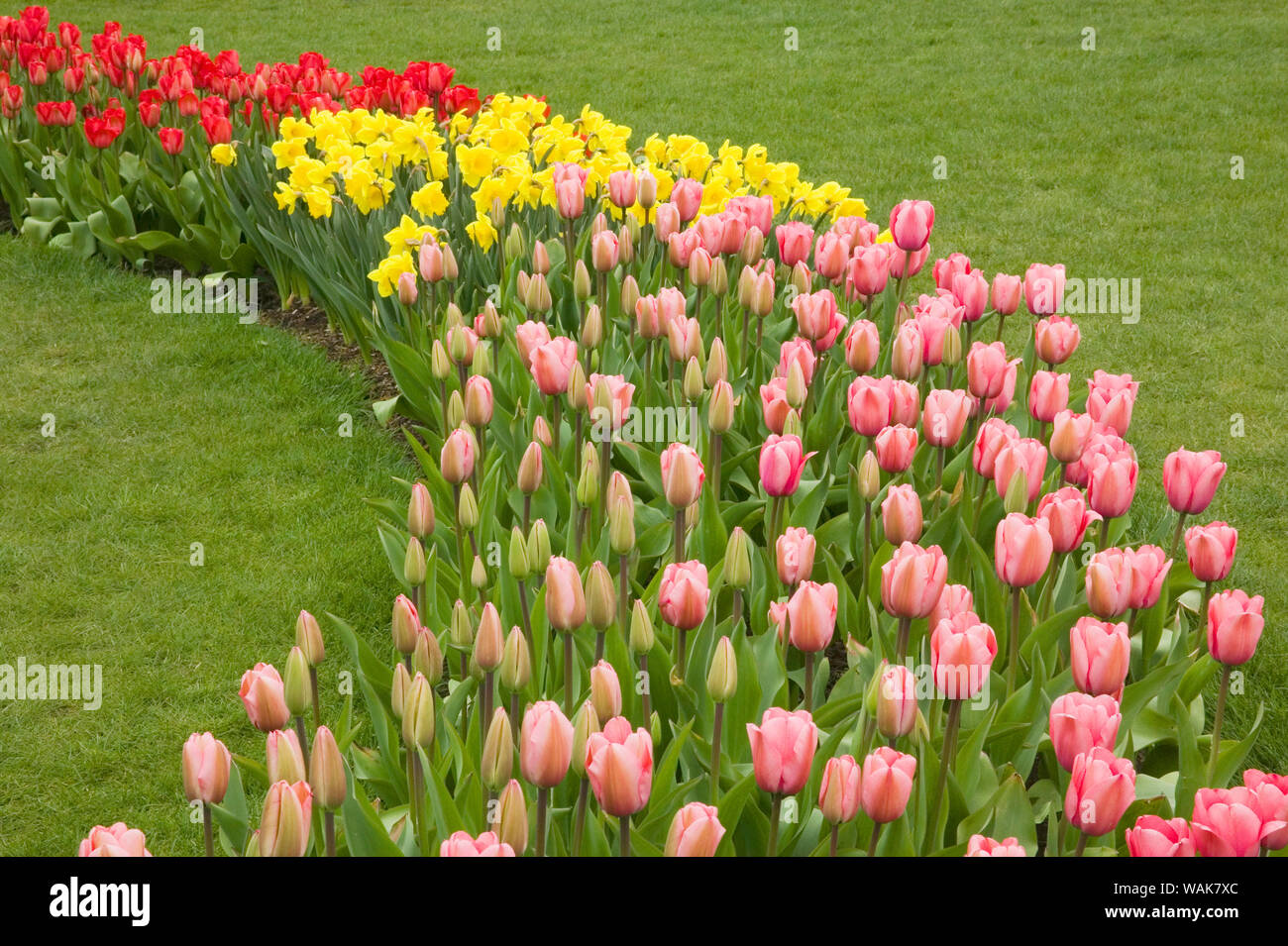 Mount Vernon, nello Stato di Washington, USA. Riga di curve di tulipani e narcisi, con in primo piano del Rosa impressione tulipani, terra di mezzo del valore standard di narcisi e posteriore del rosso tulipani di impressione. Foto Stock