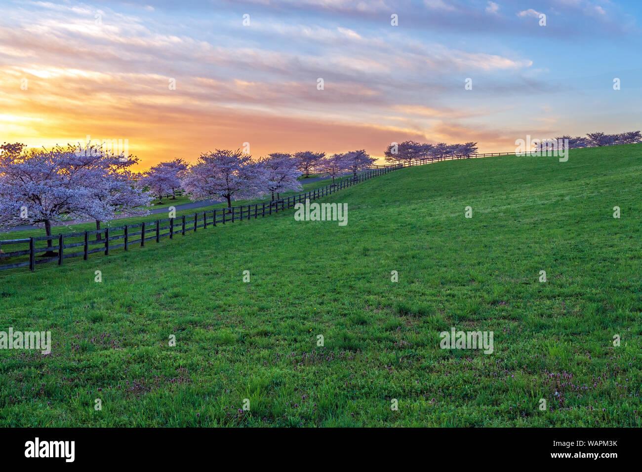 Fioritura dei ciliegi, illuminata dal tardo pomeriggio luce, linea un lungo viale di ingresso e recinzione. Foto Stock