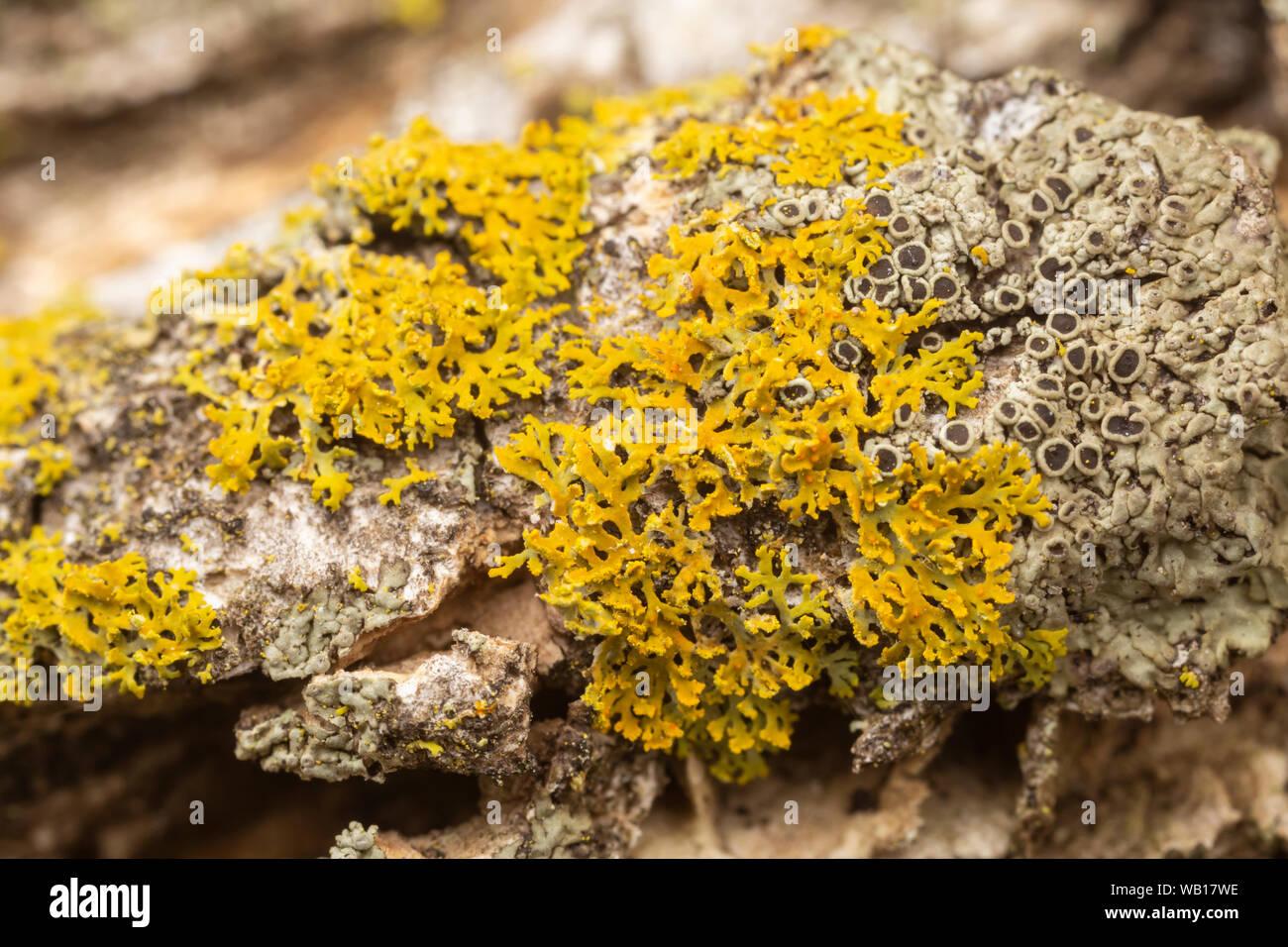 Il Lichen (Xanthomendoza weberi) Foto Stock