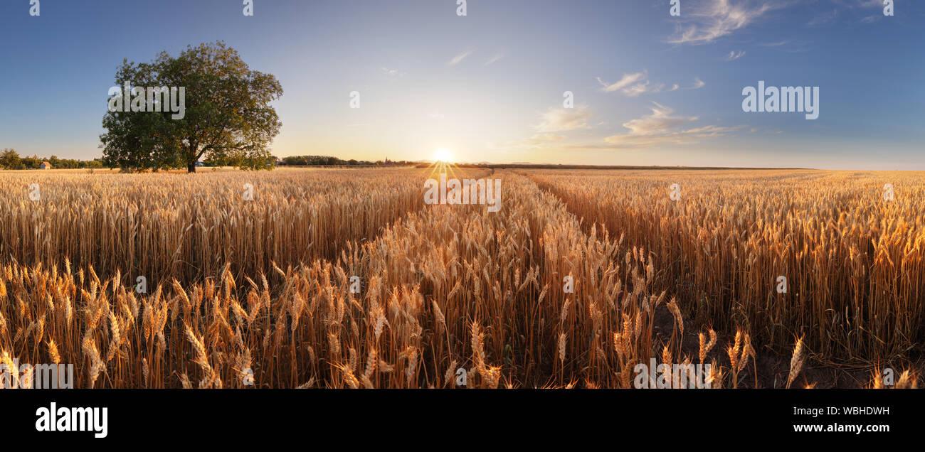 Campo di grano. Spighe di grano dorato vicino. Bellissimo paesaggio rurale sotto la luce del sole splendente e cielo blu. Sfondo di maturazione spighe di grano prato f Foto Stock