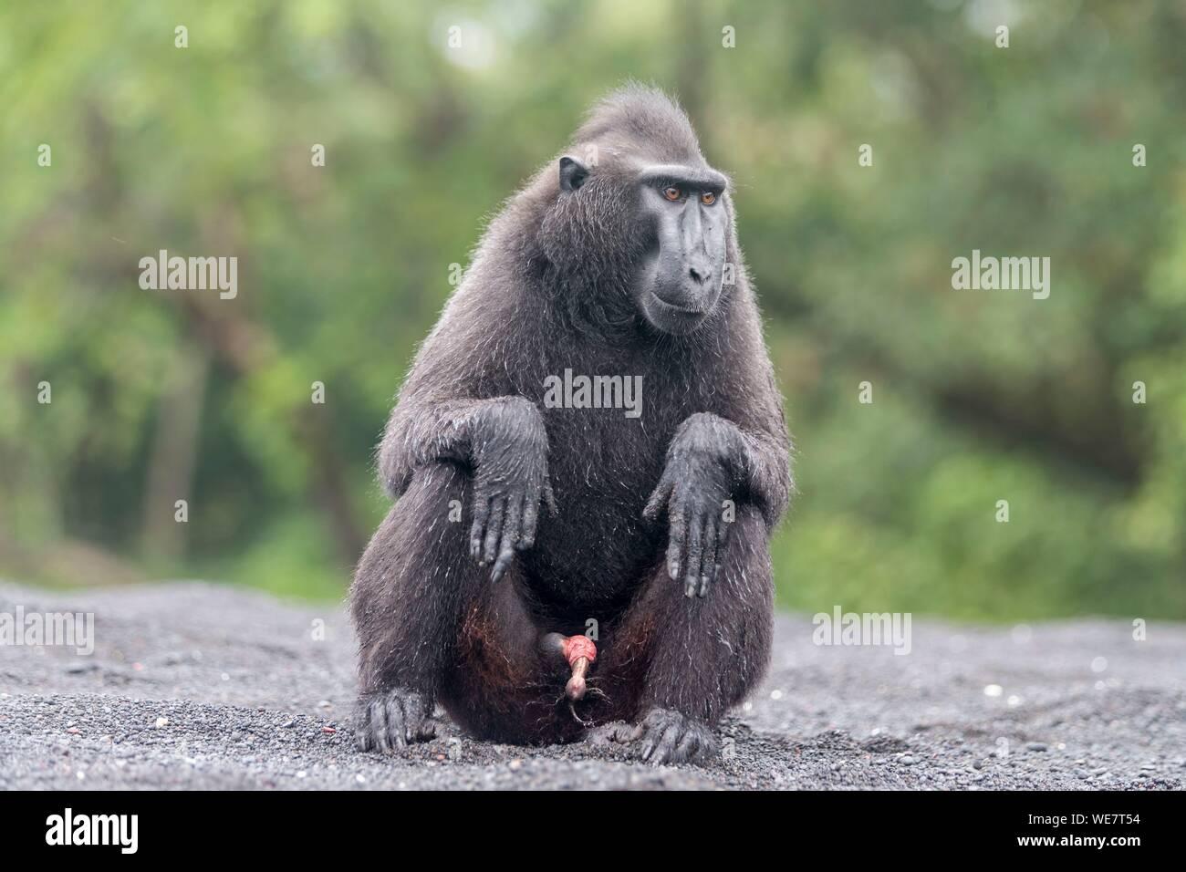 Indonesia, Celebes, Sulawesi, Tangkoko National Park, Celebes crestata o macaco crestato macaco nero, Sulawesi crested macaco o il black ape (Macaca nigra) Foto Stock