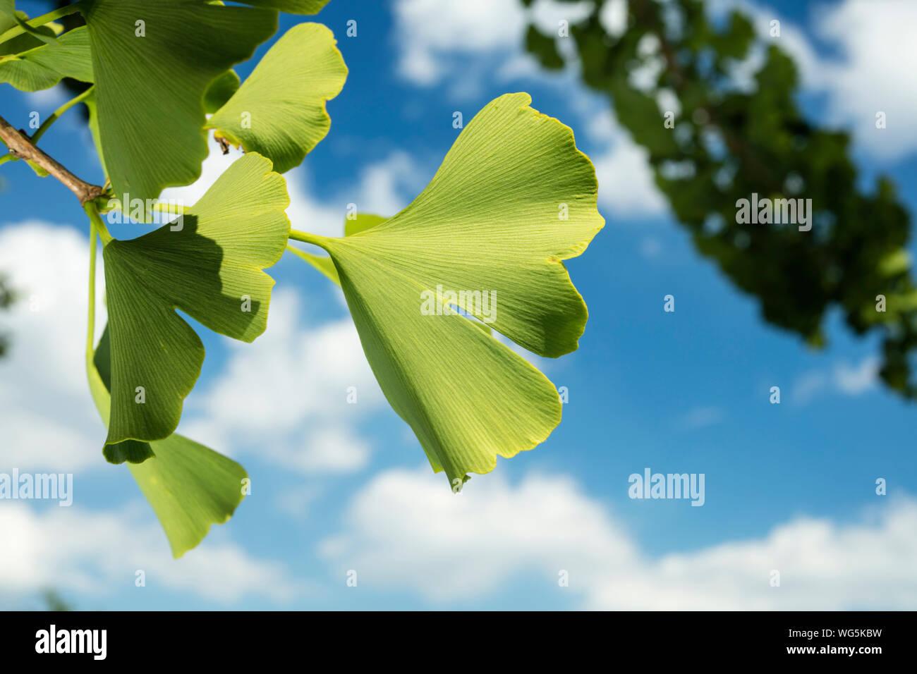 Basso angolo vista di fresco verde foglia contro Sky Foto Stock